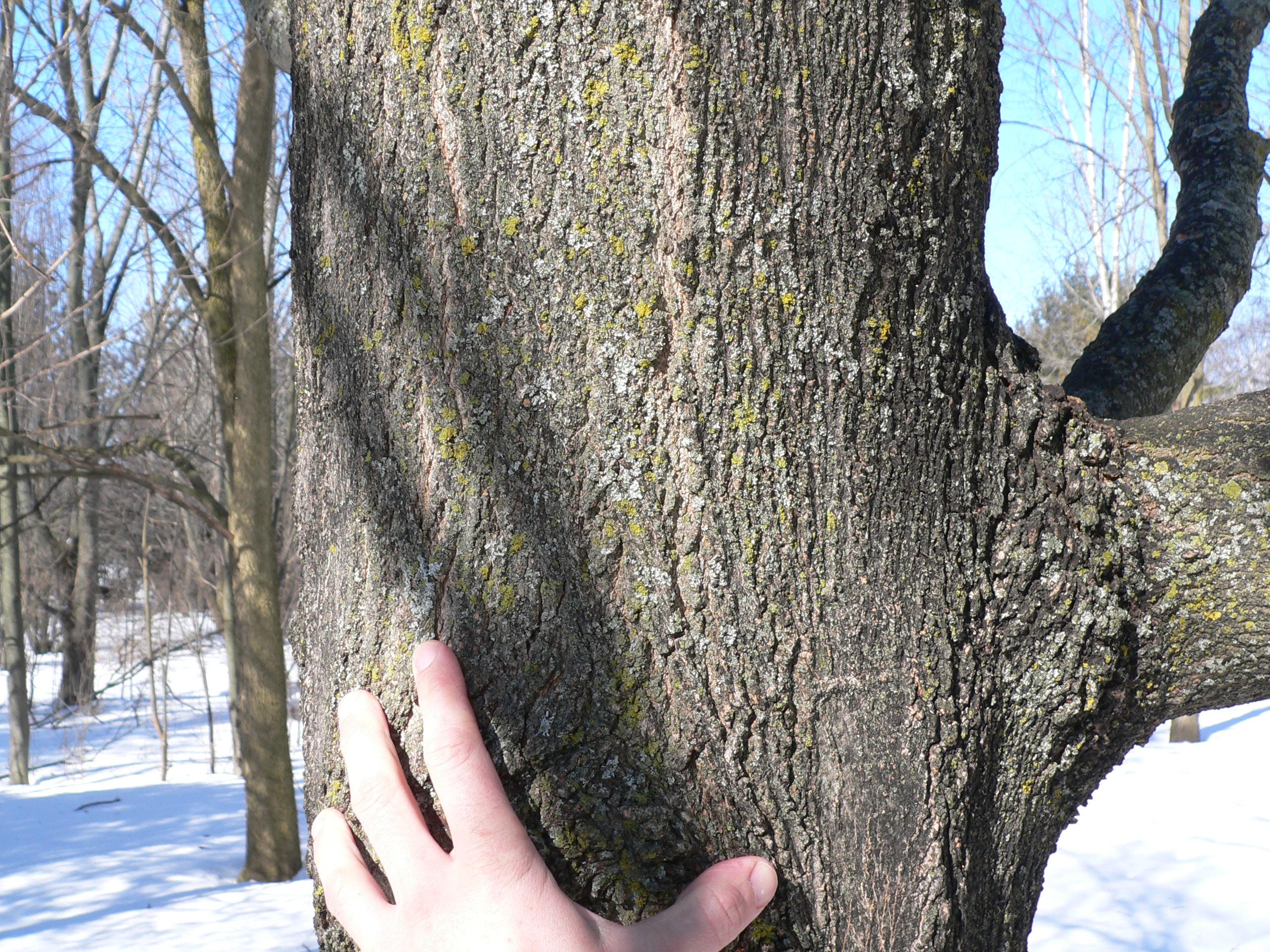 PJPG - Norway maple bark