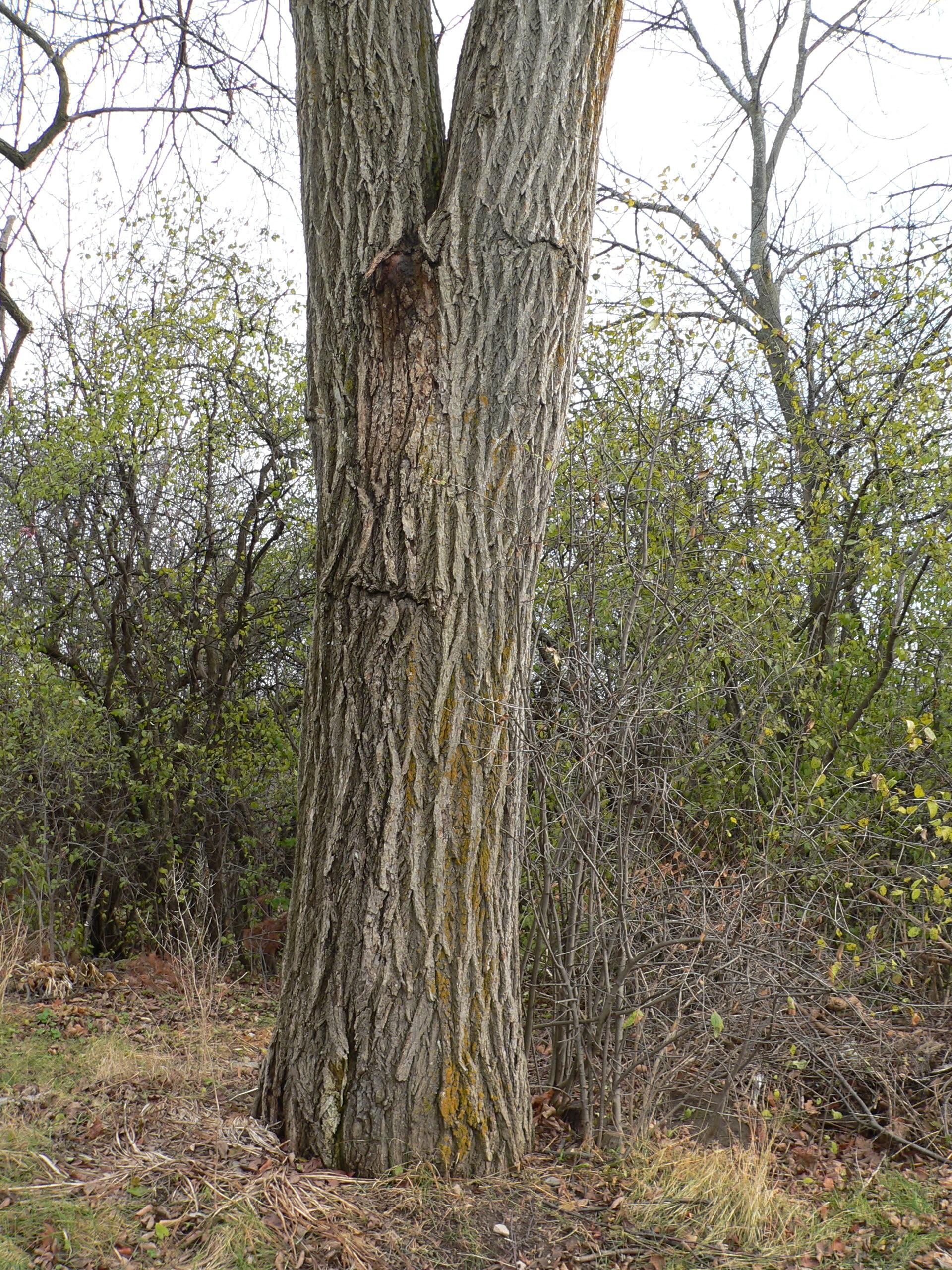 White elm for American elm